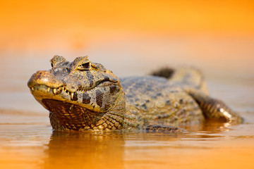 Yacare Caiman, gold crocodile in the dark orange evening water surface with sun, nature river habitat,  Pantanal, Brazil. Wildlife scene from nature. Crocodile, sunset.