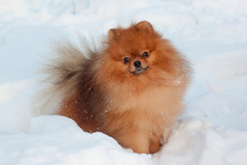 Beautiful pomeranian puppy is standing on a white snow. Pet animals.