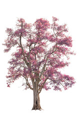 isolated big tree with pink leaves