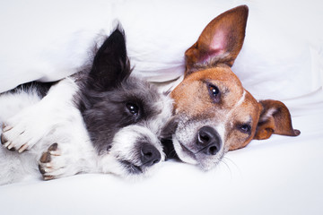 couple of dogs in love in bed