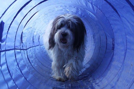 haariger hund läuft duch einen agility tunnel