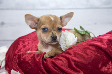 Chihuahua with flowers and red blanket