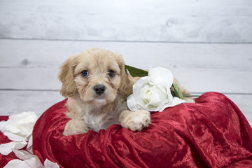 Cocker Spaniel with flowers and red blanket