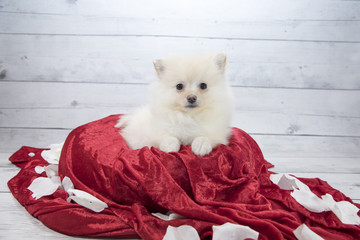Pomeranian with flowers and red blanket