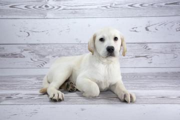 Labrador Retriever with white wood background