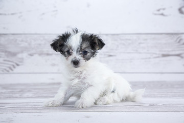 Morkie with white wood background