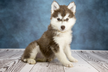 Siberian Husky with cloudy dark blue and white wood background