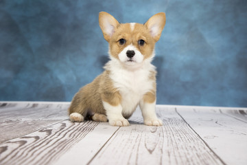 Corgi with cloudy dark blue and white wood background