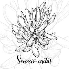 Hand drawn senecio