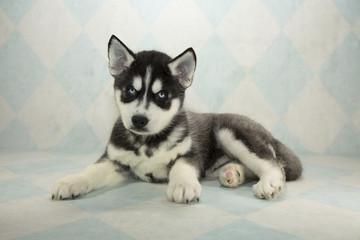 Siberian Husky on cream and blue diamond background