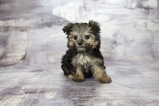 yorkiepoo with gray marbled background