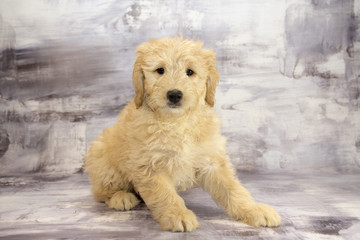 Miniature Goldendoodle with gray marbled background