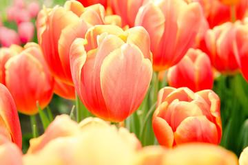Acrylic Prints Tulip Orange tulips in sunshine