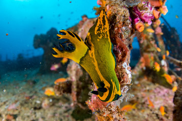 nudibranch on Ship Wreck in maldives indian ocean
