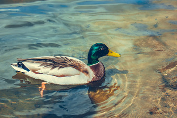 wild duck swims along a river close up with a copy of space