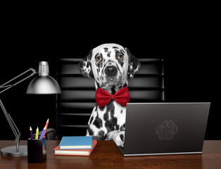 Cute dalmatian dog manager is doing some work on the computer. Isolated on black