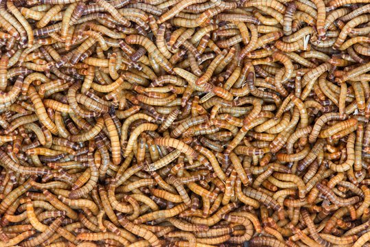 Worms, Meal worms. larvae of the beetle Tenebrio molitor
