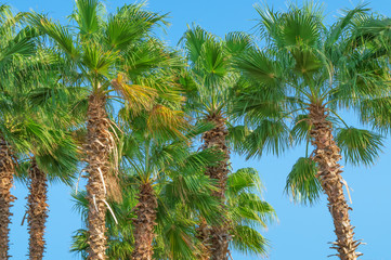 green crowns of date palms in the sunlight against a blue sky