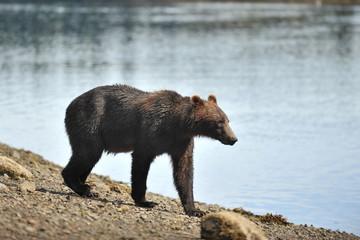 Alaska. Bears on the river near  Juneau