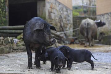 Black pigs in a farm in Yunnan China