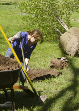 woman digging hole to plant birch tree