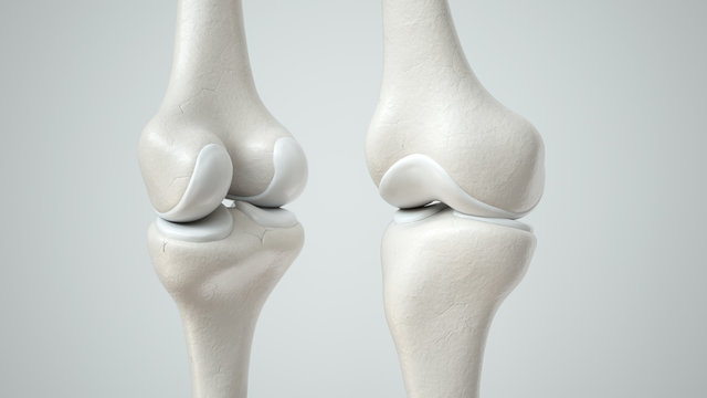 Knee joint with healthy cartilage, front and back- 3D Rendering