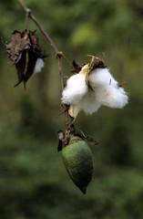 Coton, Gossypium herbaseum , Amazonie