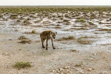Keuken foto achterwand Hyena Tüpfelhyäne, spottet hyena, Crocuta crocuta