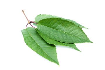 Kirschblatt Kirschblätter Süßkirschblatt Süßkirschenblatt Kirschbaumblatt Kirschbaumblätter isoliert freigestellt auf weißen Hintergrund,
