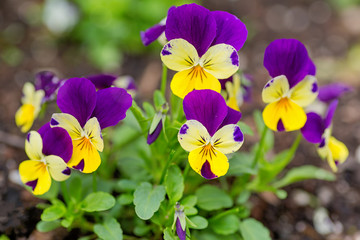 Foto op Aluminium Pansies Pretty violas flowering in the home garden.