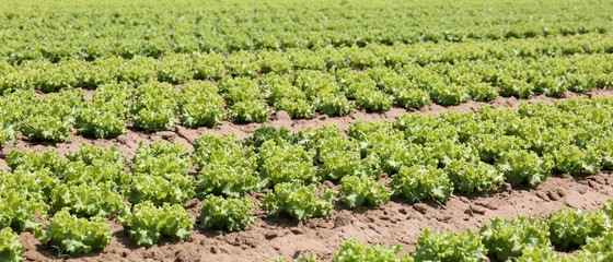 intensive cultivation of lettuce in the Po valley in Italy