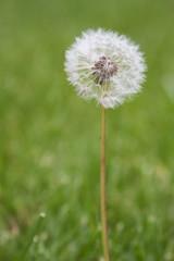 Dandelion Weed Flower