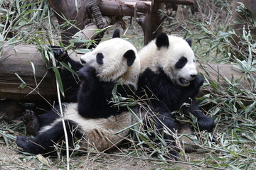 Photo sur Aluminium Panda Little Panda Cubs Sit Side by Side eeating Bamboo Leaves, China