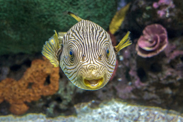 Reticulated pufferfish Arothron reticularis - sea and ocean tropical fish