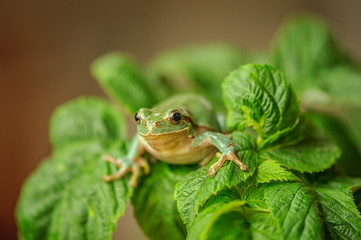 European tree frog between green leaves