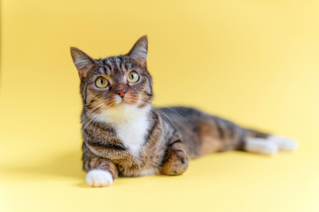 Funny home striped cat with big yellow eyes, white collar and white paws lies on yellow background.