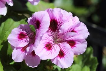 Pélargonium rose