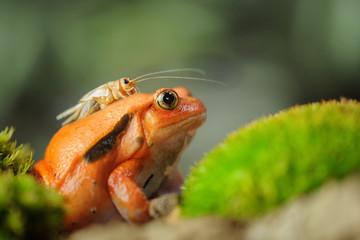 Madagascar tomato frog with house cricket