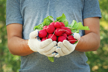 Fresh radish from garden in male hands