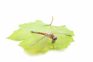 Dried dragonfly with green leaf isolated on white