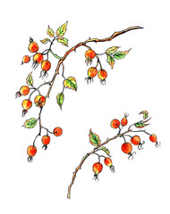 Branch of a dogrose with berries watercolor drawing with a contour, sketch on a white background, isolated.