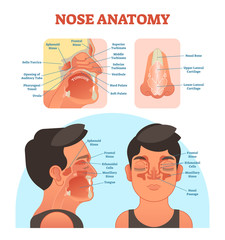 Nose anatomy medical vector illustration diagram.