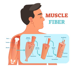 Muscle fiber anatomical vector illustration, medical education information.