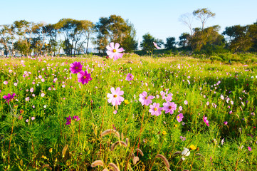 The Kelsang flowers bloom luxuriantly sunrise.