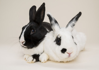 Two bunnies / two rabbits looking at camera on bone colored background