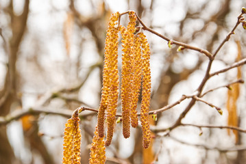 Common hazel catkins (male inflorescences) in April (Corylus avellana)