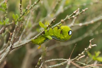 Green Lunar Caterpillar