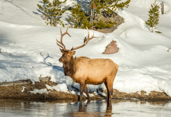 Bull Elk with full rack forages for food along the edge of the Madison River in Yellowstone National Park