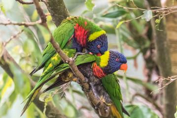 Rainbow lorikeet, beautiful parrots mating