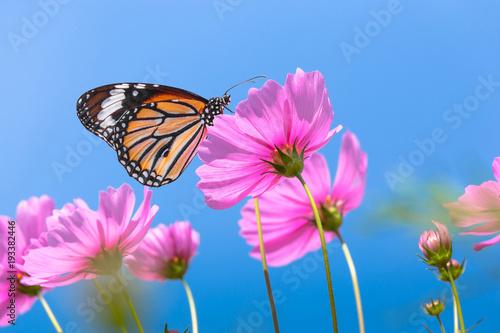Orange butterfly on cosmos flower field